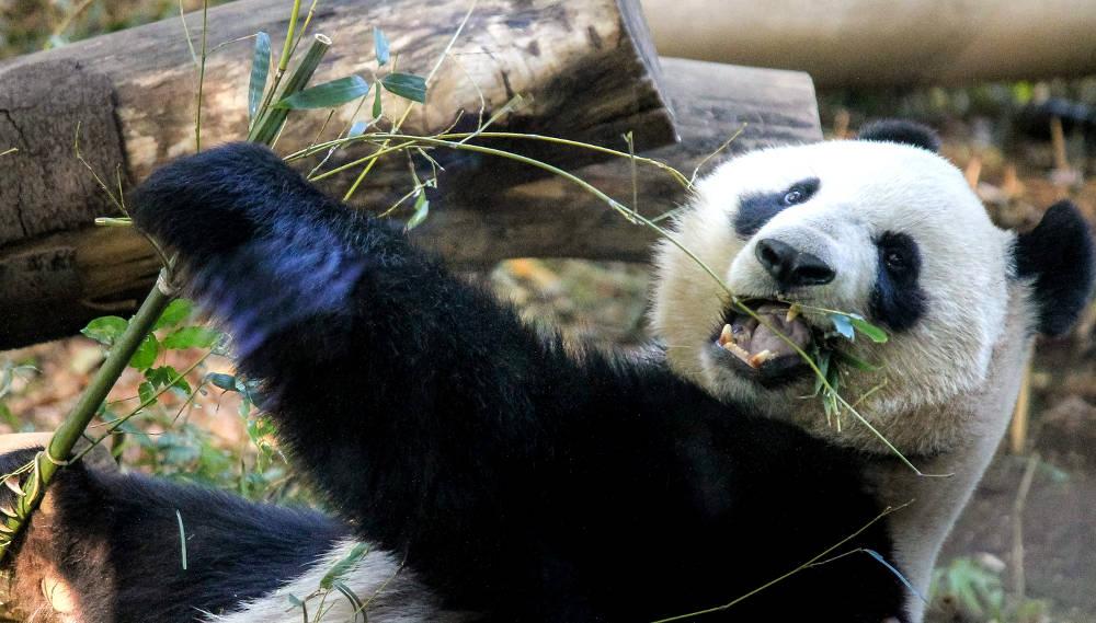 笹食うパンダ