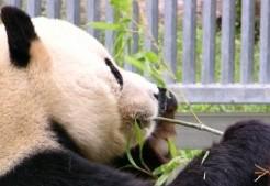 panda-nufufu1