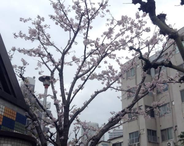 公園に咲いていた桜