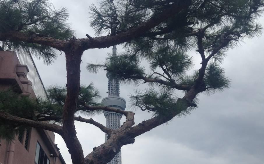 2017年07月29日撮影の松の木に隠れている東京スカイツリー
