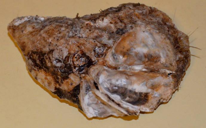 牡蠣の写真3