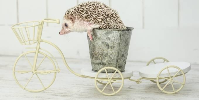自転車に乗るハリネズミ