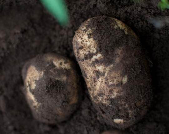 土が付いたジャガイモの写真