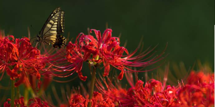 アゲハ蝶と彼岸花