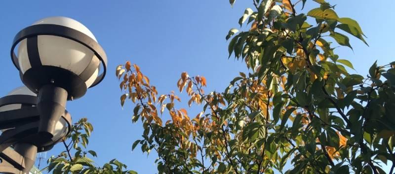 秋に茶色に変化している桜の葉