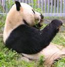 パンダ(写真)