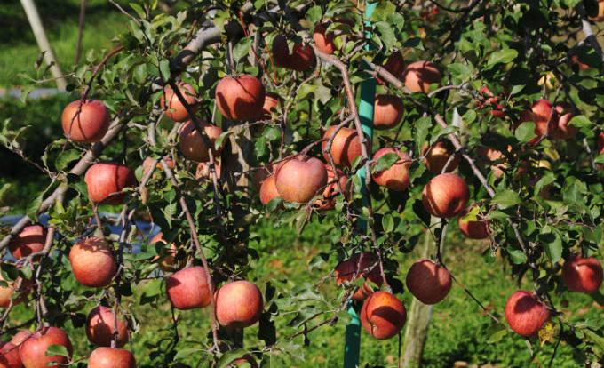 リンゴの実る木