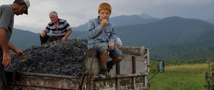 トラックに積まれた葡萄を食べる少年