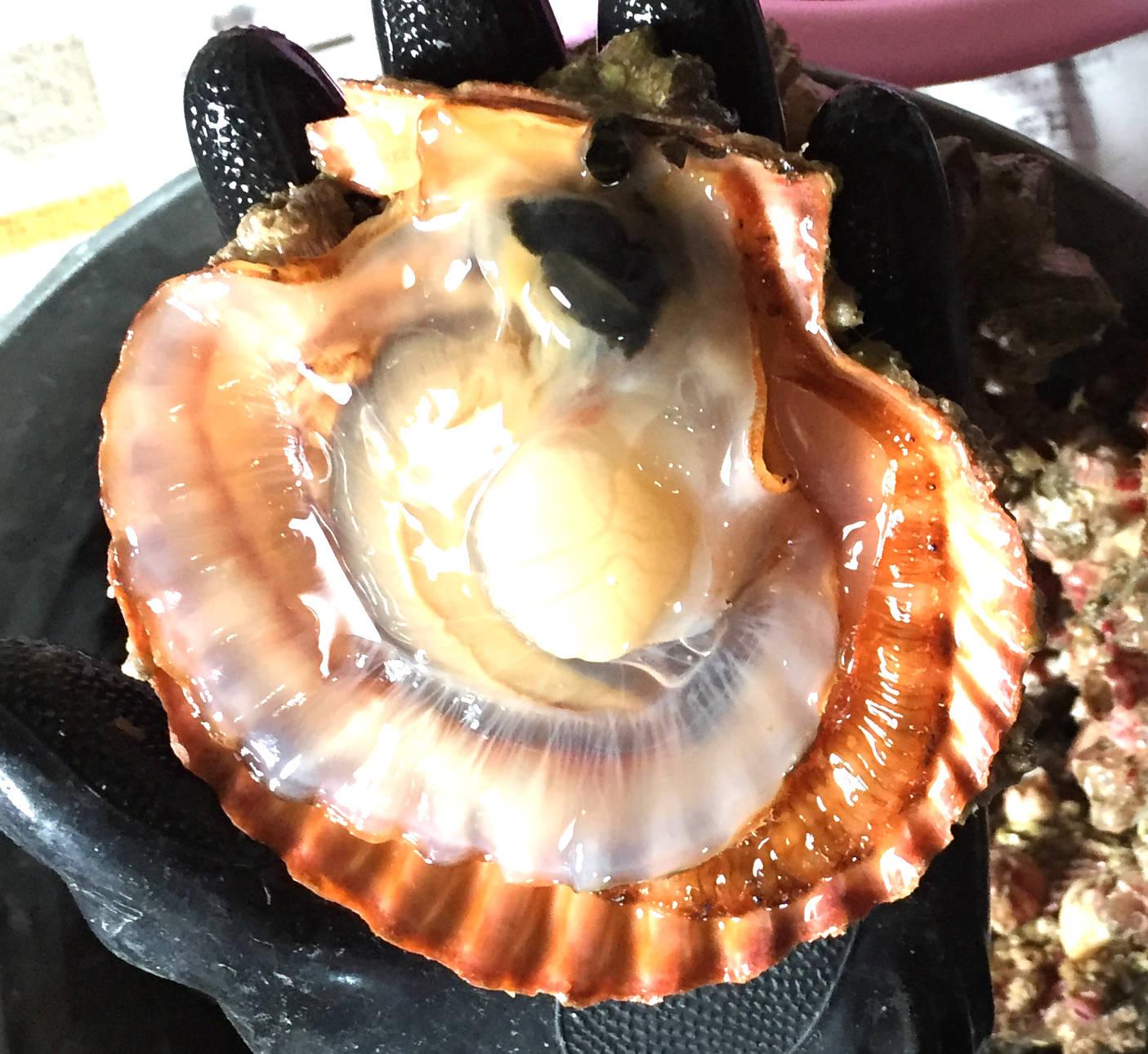 ヒオウギガイ(緋扇貝)の写真