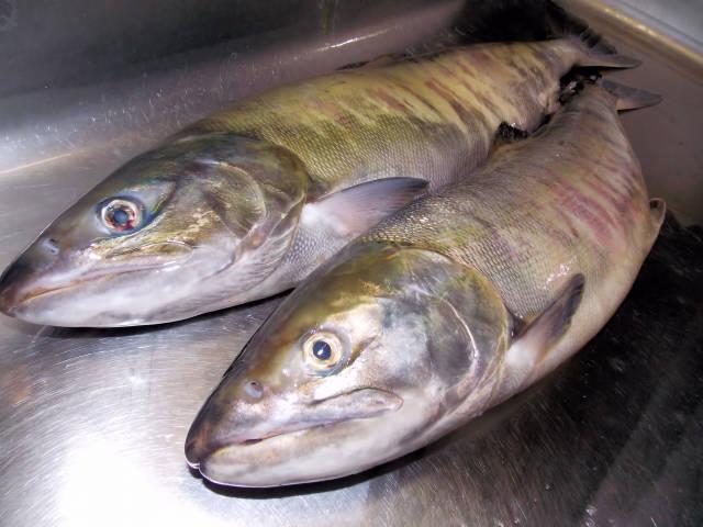 サケ、シャケ(鮭・サーモン)の写真