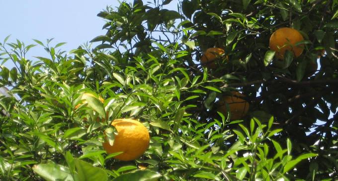 木に実っている夏みかん